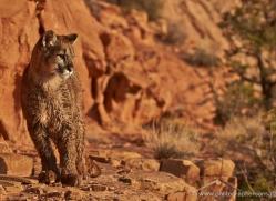 mountain-lion-puma-moab-2037-copyright-photographers-on-safari-com