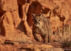 mountain-lion-puma-moab-2038-copyright-photographers-on-safari-com