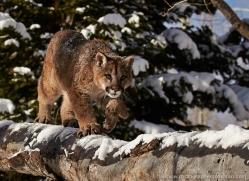 mountain-lion-puma-moab-2041-copyright-photographers-on-safari-com