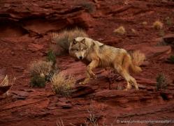 wolf-moab-2059-copyright-photographers-on-safari-com
