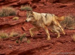 wolf-moab-2060-copyright-photographers-on-safari-com