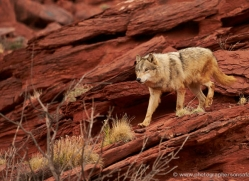 wolf-moab-2061-copyright-photographers-on-safari-com
