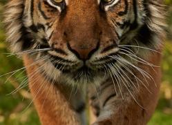 Tiger 2015-61copyright-photographers-on-safari-com