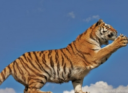 Tiger 2015-64copyright-photographers-on-safari-com