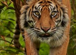 Tiger 2015-66copyright-photographers-on-safari-com