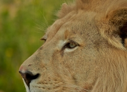 White Lion 2015-1copyright-photographers-on-safari-com