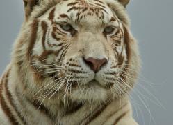 White tiger 2015-1copyright-photographers-on-safari-com