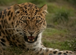 amur-leopard-whf-2314-copyright-photographers-on-safari-com