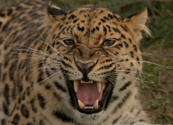 amur-leopard-whf-2316-copyright-photographers-on-safari-com