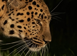 amur-leopard-whf-2317-copyright-photographers-on-safari-com