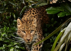 amur-leopard-whf-2321-copyright-photographers-on-safari-com
