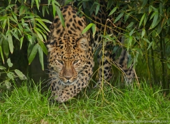 amur-leopard-whf-2322-copyright-photographers-on-safari-com