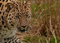 amur-leopard-whf-2323-copyright-photographers-on-safari-com