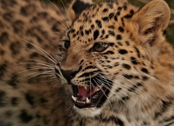amur-leopard-whf-2329-copyright-photographers-on-safari-com