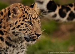 amur-leopard-whf-2332-copyright-photographers-on-safari-com