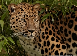 amur-leopard-whf-2333-copyright-photographers-on-safari-com