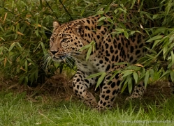 amur-leopard-whf-2334-copyright-photographers-on-safari-com