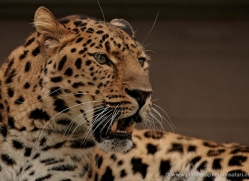 amur-leopard-whf-2335-copyright-photographers-on-safari-com