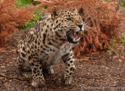 amur-leopard-whf-2336-copyright-photographers-on-safari-com