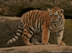 amur-tiger-whf-2295-copyright-photographers-on-safari-com