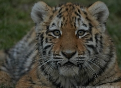 amur-tiger-whf-2299-copyright-photographers-on-safari-com
