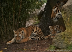 amur-tiger-whf-2300-copyright-photographers-on-safari-com