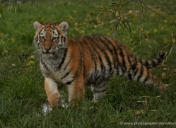 amur-tiger-whf-2301-copyright-photographers-on-safari-com