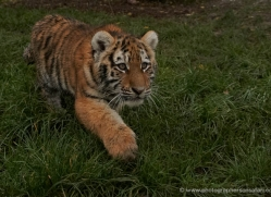 amur-tiger-whf-2302-copyright-photographers-on-safari-com