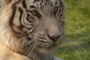 Big Cats at WHF – Kent