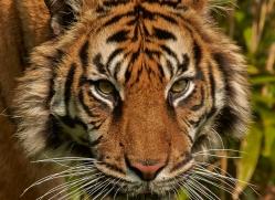 Tiger 2015-59copyright-photographers-on-safari-com