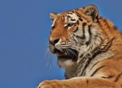 Tiger 2015-63copyright-photographers-on-safari-com