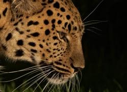 amur-leopard-whf-2317-copyright-photographers-on-safari-com