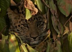 amur-leopard-whf-2318-copyright-photographers-on-safari-com