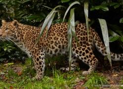 amur-leopard-whf-2320-copyright-photographers-on-safari-com