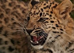 amur-leopard-whf-2329-copyright-photographers-on-safari-com