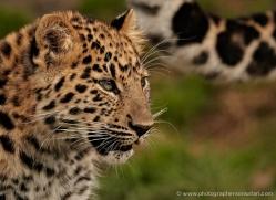 amur-leopard-whf-2332-copyright-photographers-on-safari-com