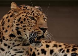 amur-leopard-whf-2335-copyright-photographers-on-safari-com