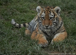 amur-tiger-whf-2298-copyright-photographers-on-safari-com