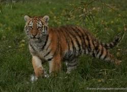 amur-tiger-whf-2301-copyright-photographers-on-safari-com