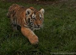 amur-tiger-whf-2302-copyright-photographers-on-safari-com