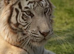 white-tiger-whf-2454-copyright-photographers-on-safari-com
