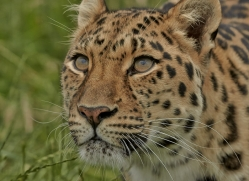Amur Leopard 2015-5copyright-photographers-on-safari-com