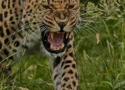 Amur Leopard 2015-6copyright-photographers-on-safari-com