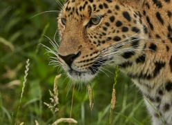 Amur Leopard 2015-7copyright-photographers-on-safari-com