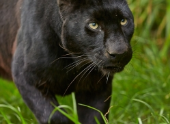 Black Leopard 2015-5copyright-photographers-on-safari-com