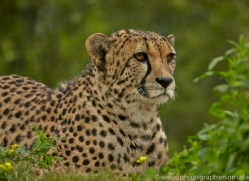 Cheetah 2015-13copyright-photographers-on-safari-com