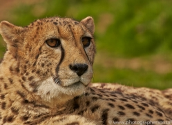 Cheetah 2015-14copyright-photographers-on-safari-com