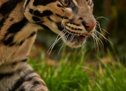 Clouded Leopard 2015-1copyright-photographers-on-safari-com