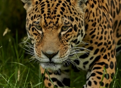 Jaguar 2015-1copyright-photographers-on-safari-com