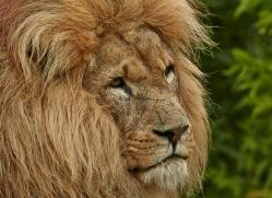Lion 2015-1copyright-photographers-on-safari-com